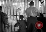 Image of Pet lion in captivity Illinois United States USA, 1954, second 31 stock footage video 65675041493