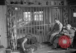 Image of Pet lion in captivity Illinois United States USA, 1954, second 47 stock footage video 65675041493