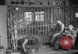 Image of Pet lion in captivity Illinois United States USA, 1954, second 48 stock footage video 65675041493