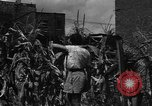 Image of victory gardens Chicago Illinois USA, 1943, second 44 stock footage video 65675042217