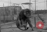 Image of Lion named King Tuffy Venice Beach Los Angeles California USA, 1935, second 20 stock footage video 65675043352