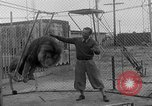 Image of Lion named King Tuffy Venice Beach Los Angeles California USA, 1935, second 21 stock footage video 65675043352