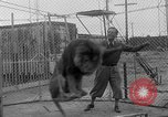 Image of Lion named King Tuffy Venice Beach Los Angeles California USA, 1935, second 22 stock footage video 65675043352