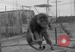 Image of Lion named King Tuffy Venice Beach Los Angeles California USA, 1935, second 23 stock footage video 65675043352
