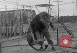 Image of Lion named King Tuffy Venice Beach Los Angeles California USA, 1935, second 26 stock footage video 65675043352