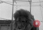 Image of Lion named King Tuffy Venice Beach Los Angeles California USA, 1935, second 27 stock footage video 65675043352