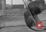 Image of Lion named King Tuffy Venice Beach Los Angeles California USA, 1935, second 38 stock footage video 65675043352