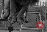 Image of Lion named King Tuffy Venice Beach Los Angeles California USA, 1935, second 40 stock footage video 65675043352