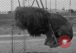 Image of Lion named King Tuffy Venice Beach Los Angeles California USA, 1935, second 52 stock footage video 65675043352