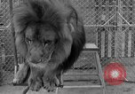 Image of Lion named King Tuffy Venice Beach Los Angeles California USA, 1935, second 59 stock footage video 65675043352