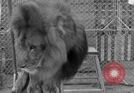 Image of Lion named King Tuffy Venice Beach Los Angeles California USA, 1935, second 62 stock footage video 65675043352