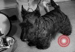 Image of Westminster Dog Show New York City USA, 1960, second 24 stock footage video 65675043366