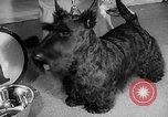 Image of Westminster Dog Show New York City USA, 1960, second 25 stock footage video 65675043366