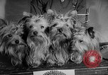 Image of Westminster Dog Show New York City USA, 1960, second 37 stock footage video 65675043366