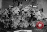 Image of Westminster Dog Show New York City USA, 1960, second 38 stock footage video 65675043366