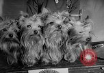 Image of Westminster Dog Show New York City USA, 1960, second 39 stock footage video 65675043366