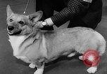 Image of Westminster Dog Show New York City USA, 1960, second 43 stock footage video 65675043366