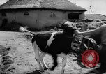 Image of Cattle released Holland Netherlands, 1959, second 9 stock footage video 65675043374