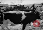 Image of Cattle released Holland Netherlands, 1959, second 10 stock footage video 65675043374