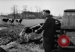 Image of Cattle released Holland Netherlands, 1959, second 12 stock footage video 65675043374