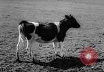 Image of Cattle released Holland Netherlands, 1959, second 21 stock footage video 65675043374
