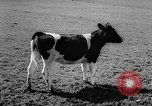 Image of Cattle released Holland Netherlands, 1959, second 22 stock footage video 65675043374
