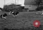 Image of Cattle released Holland Netherlands, 1959, second 23 stock footage video 65675043374