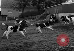 Image of Cattle released Holland Netherlands, 1959, second 24 stock footage video 65675043374