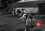Image of Cattle released Holland Netherlands, 1959, second 25 stock footage video 65675043374