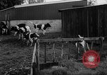 Image of Cattle released Holland Netherlands, 1959, second 26 stock footage video 65675043374