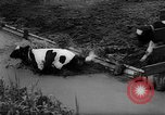 Image of Cattle released Holland Netherlands, 1959, second 27 stock footage video 65675043374