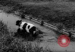 Image of Cattle released Holland Netherlands, 1959, second 28 stock footage video 65675043374