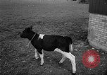Image of Cattle released Holland Netherlands, 1959, second 31 stock footage video 65675043374