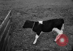 Image of Cattle released Holland Netherlands, 1959, second 32 stock footage video 65675043374