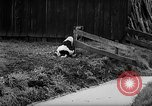 Image of Cattle released Holland Netherlands, 1959, second 34 stock footage video 65675043374
