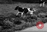 Image of Cattle released Holland Netherlands, 1959, second 40 stock footage video 65675043374