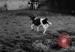 Image of Cattle released Holland Netherlands, 1959, second 41 stock footage video 65675043374