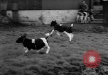 Image of Cattle released Holland Netherlands, 1959, second 42 stock footage video 65675043374