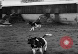 Image of Cattle released Holland Netherlands, 1959, second 43 stock footage video 65675043374