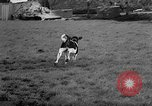 Image of Cattle released Holland Netherlands, 1959, second 46 stock footage video 65675043374