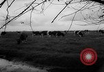 Image of Cattle released Holland Netherlands, 1959, second 47 stock footage video 65675043374