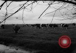 Image of Cattle released Holland Netherlands, 1959, second 49 stock footage video 65675043374