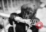 Image of baby animals Europe, 1960, second 36 stock footage video 65675051193