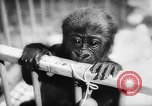 Image of baby animals Europe, 1960, second 39 stock footage video 65675051193