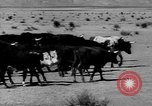 Image of cowboys on ranch United States USA, 1940, second 11 stock footage video 65675052587