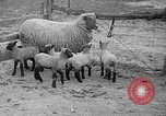 Image of quintuplet lambs Wilmington Ohio USA, 1936, second 6 stock footage video 65675053233
