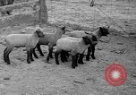 Image of quintuplet lambs Wilmington Ohio USA, 1936, second 9 stock footage video 65675053233