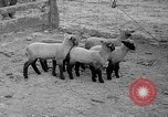 Image of quintuplet lambs Wilmington Ohio USA, 1936, second 12 stock footage video 65675053233