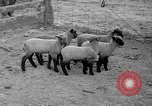 Image of quintuplet lambs Wilmington Ohio USA, 1936, second 13 stock footage video 65675053233