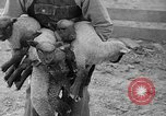 Image of quintuplet lambs Wilmington Ohio USA, 1936, second 22 stock footage video 65675053233